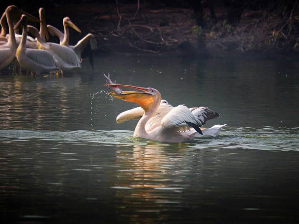 pelican eating fish, photo by Masood Sarwer