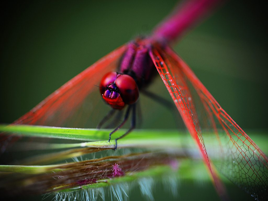 red dragonfly, photo by Anupam Dhote
