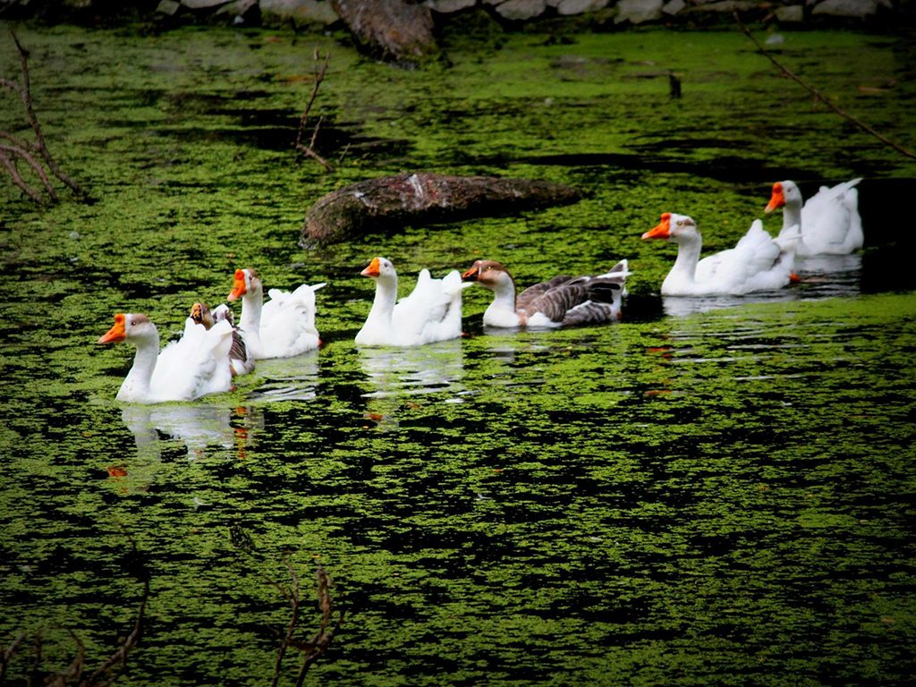 geese, photo by Kanchan Dixit