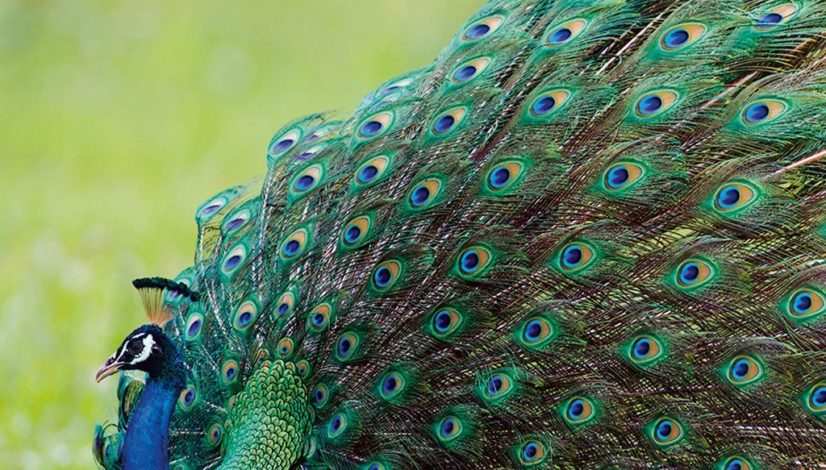 peacock-in-pench