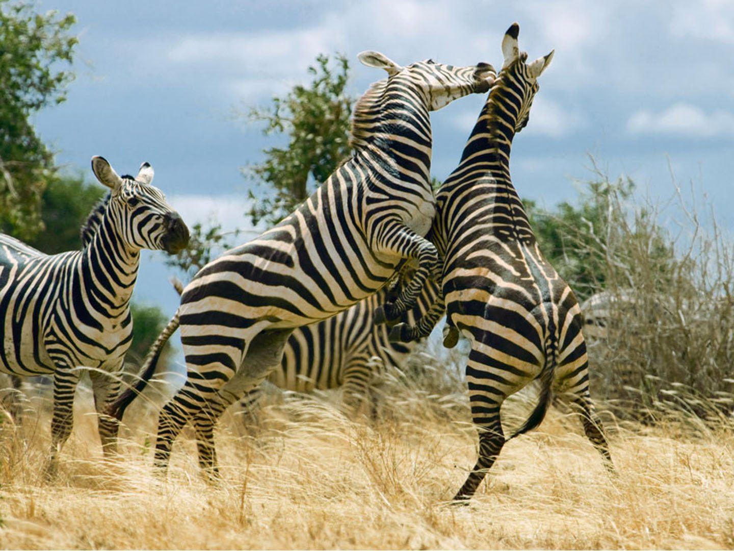 Zebras are social animals that live in herds. They can often be seen grazing together, playing, and even grooming each other on the plains of Tsavo. Photo: Image Broker/ Indiapicture