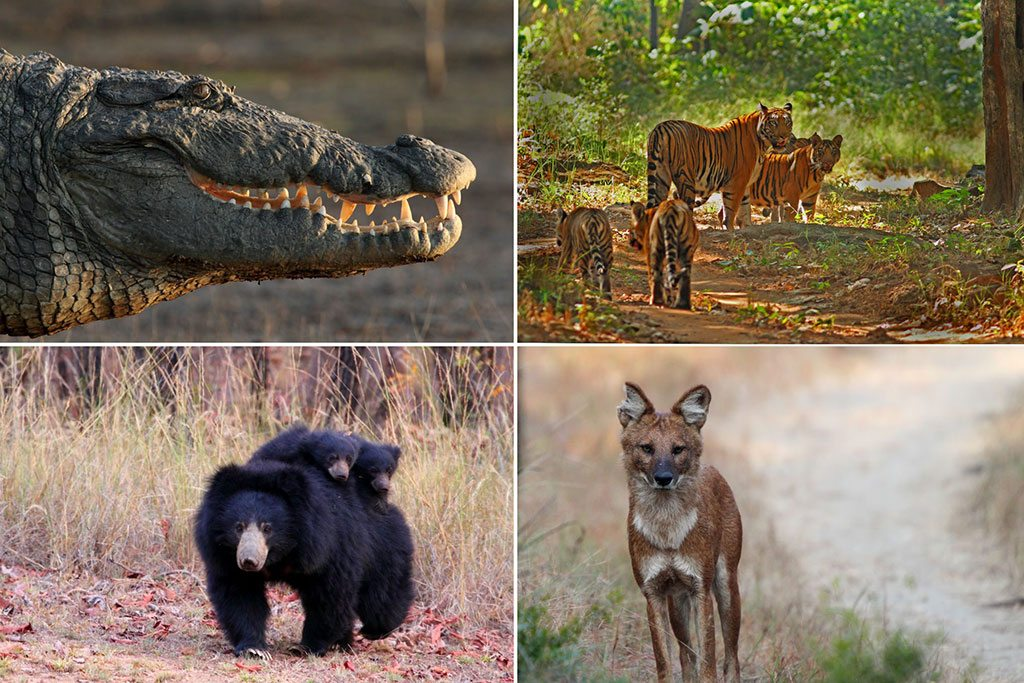 Go on a boat ride along the Denwa River to spot crocodiles (top left); Despite its vast area, this park isn't on India's popular tiger tourism circuit (top right); Dholes, or wild dogs (bottom right), are frequently spotted in the area; Bear cubs hold on tight to their parent (bottom left). Photos courtesy Reni Pani Jungle Lodge