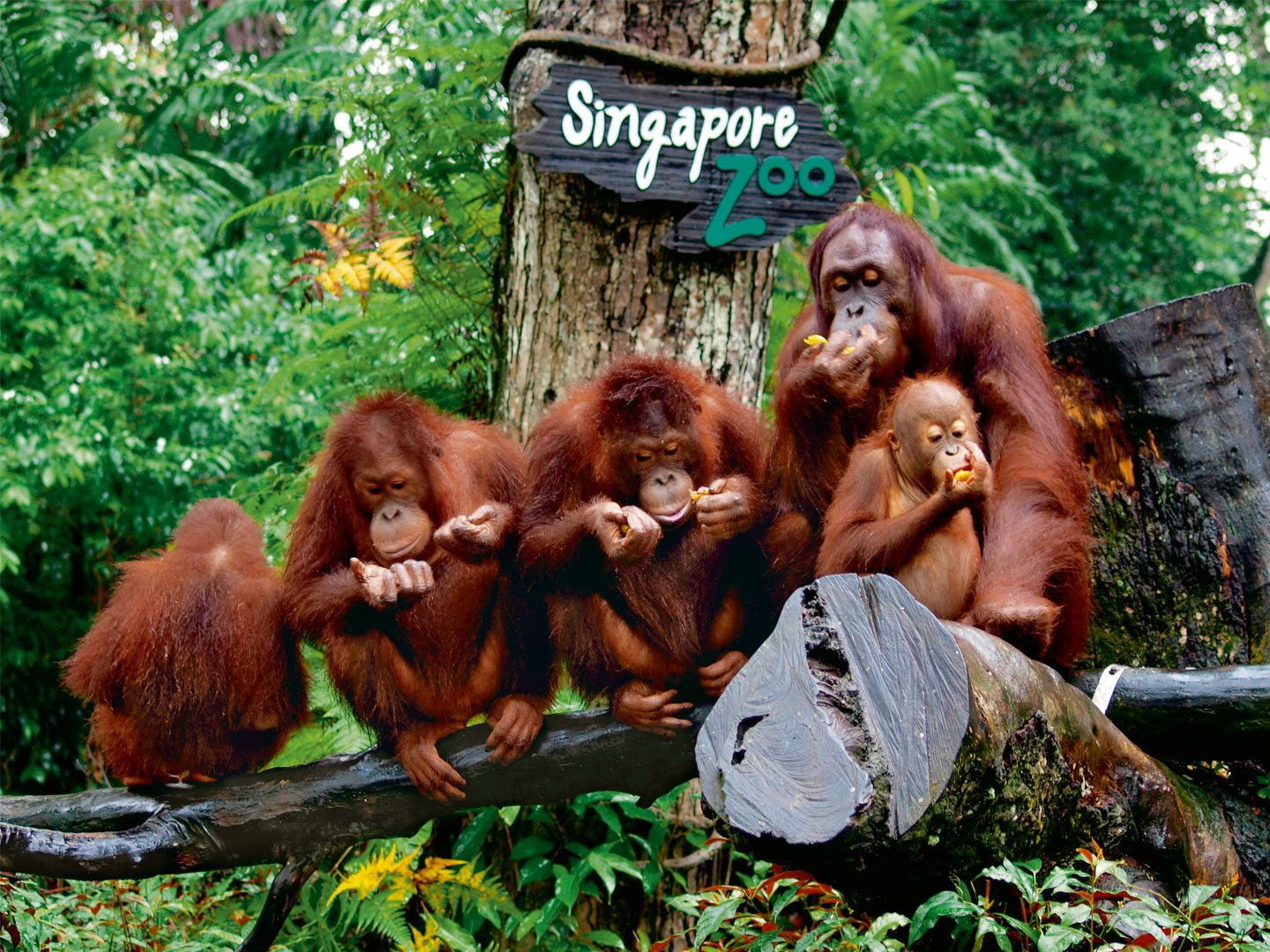 The conservation efforts of Wildlife Reserves Singapore have seen immesne success with rehabilitating hornbills as well as breeding orangutans. The primates have the largest open exhibit in the park without any walls, and with multi-tiered platforms. Photo: Kohis/Imagebroker/Dinodia