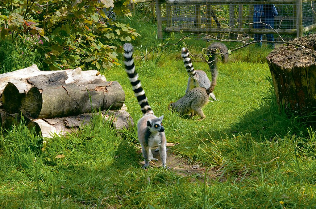 ring-tailed lemur durrell wildlife park jersey islands england