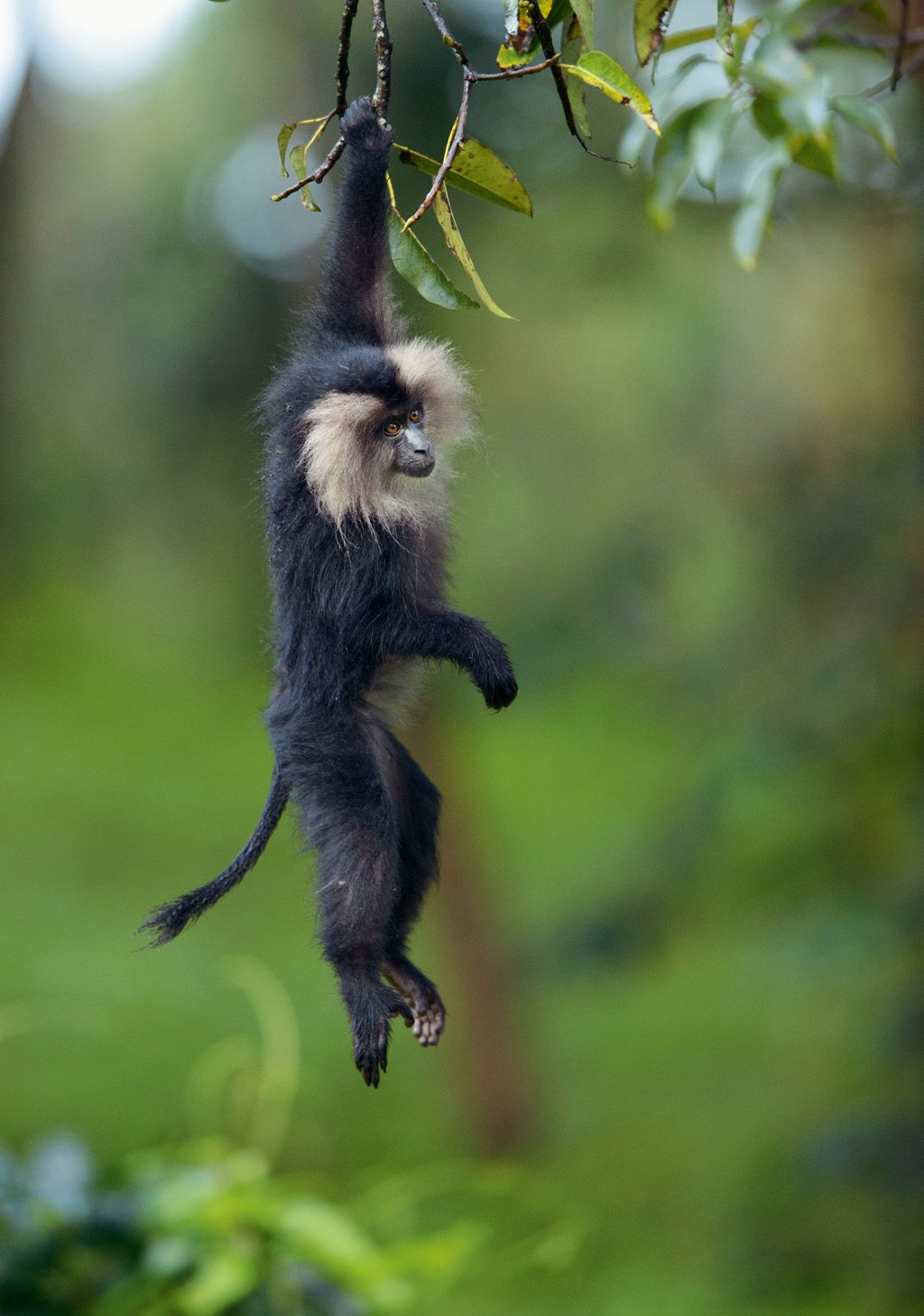 Lion-tailed macaque Western Ghats