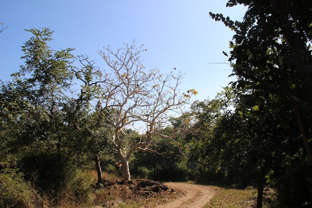 Kanha Sal Tree Forest