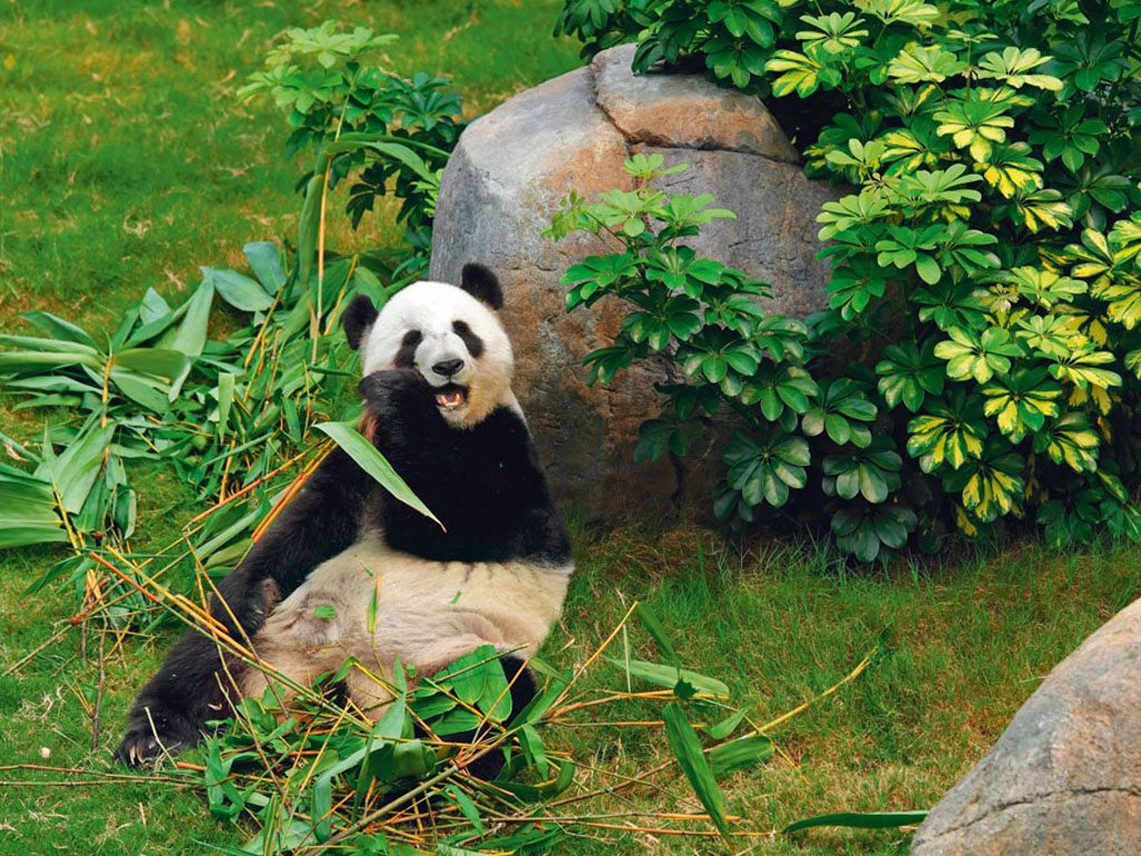 at the Chengdu Research Base of Giant Panda Breeding