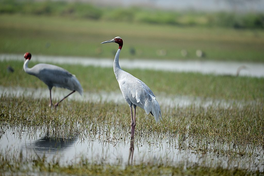cranes at bharatpur