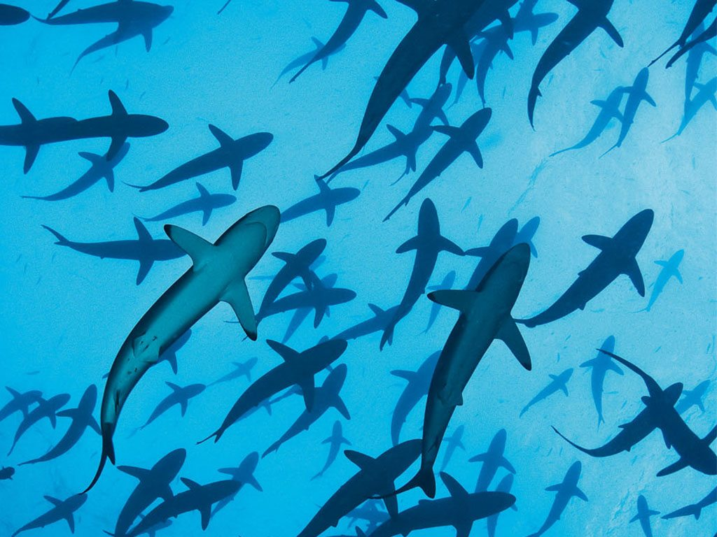 Swimming above schools of silky sharks in the waters off Malpelo Island. Photo: Tomas Kotou/National Geographic Society/ Corbis/ Imagelibrary