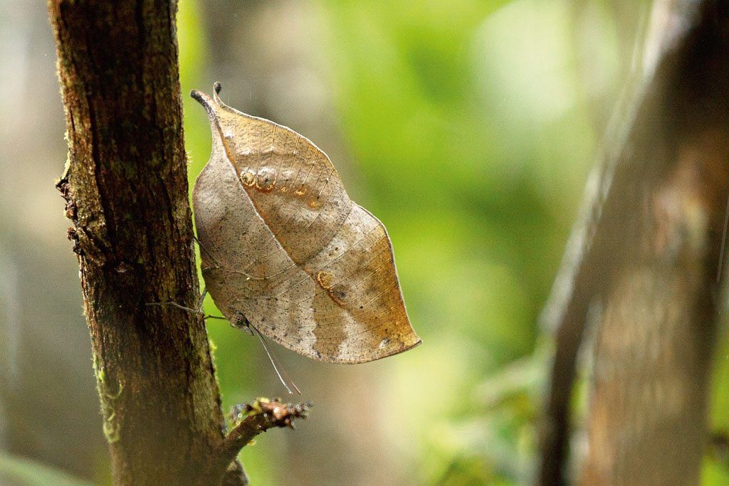 Agumbe South Indian blue oakleaf butterfly