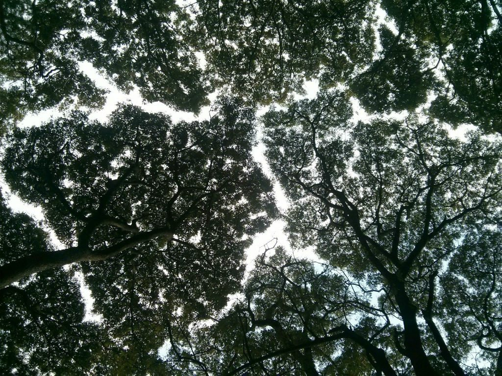 The secret life of trees how canopy shyness keeps the for Canopy of trees