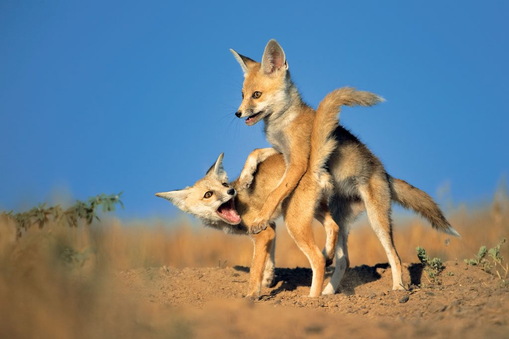 Fox Gujarat Little Rann