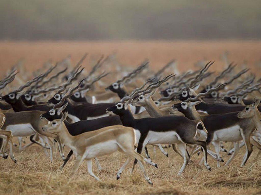 blackbucks at velavadar, photo by Esha Munshi