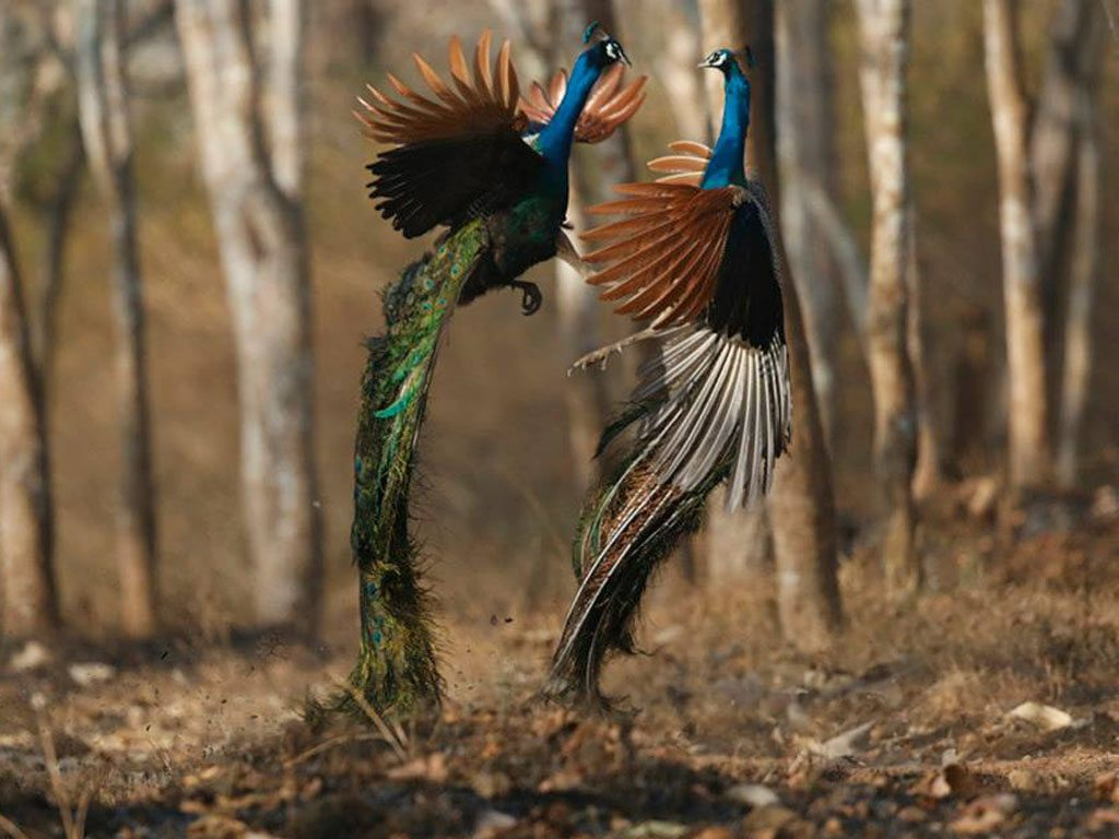 fighting peacocks, photo by Shivakumar T