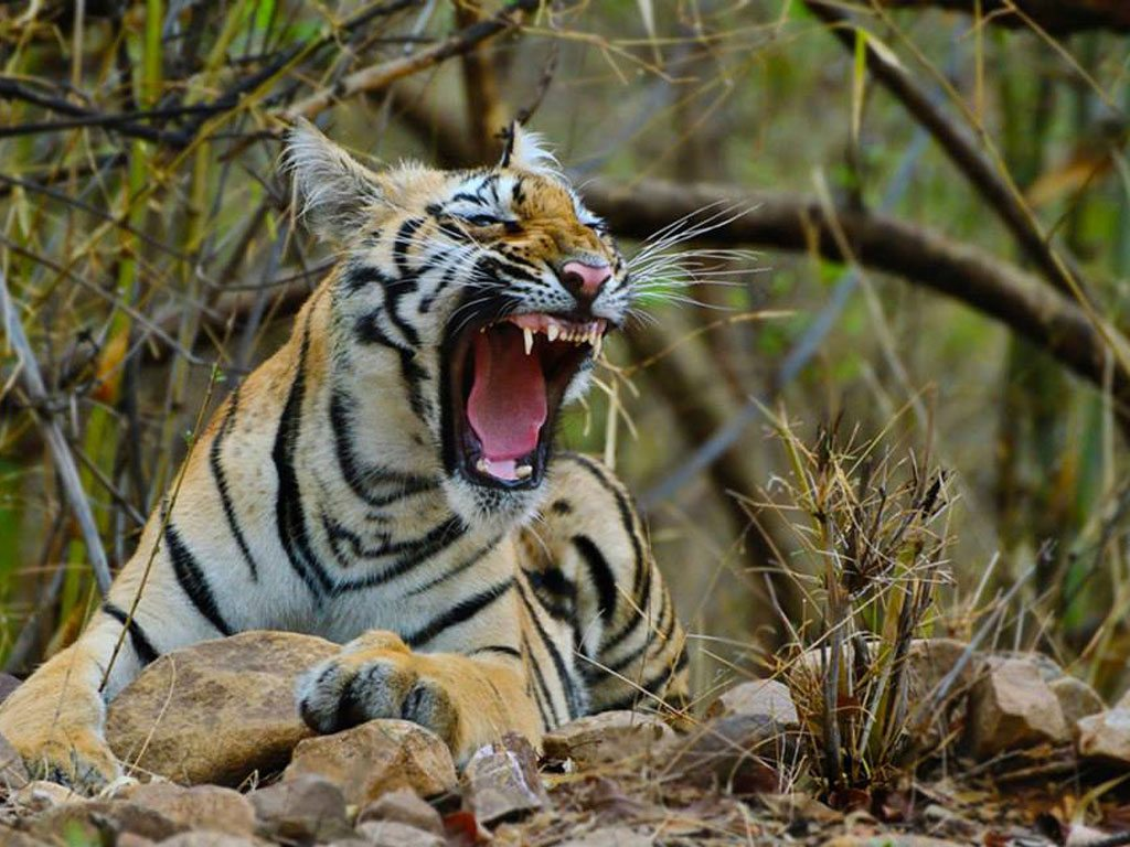 yawning tiger, photo by Bhavik Thaker