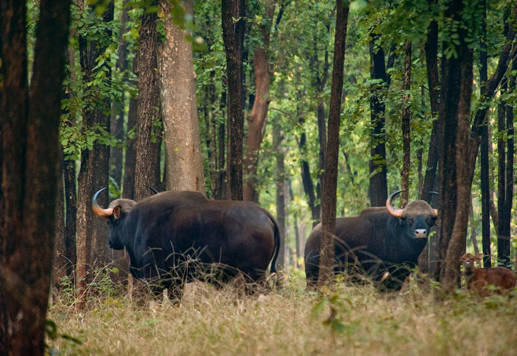 IBarnawapara Wildlife Sanctuary ndian Bison Chhattisgarh