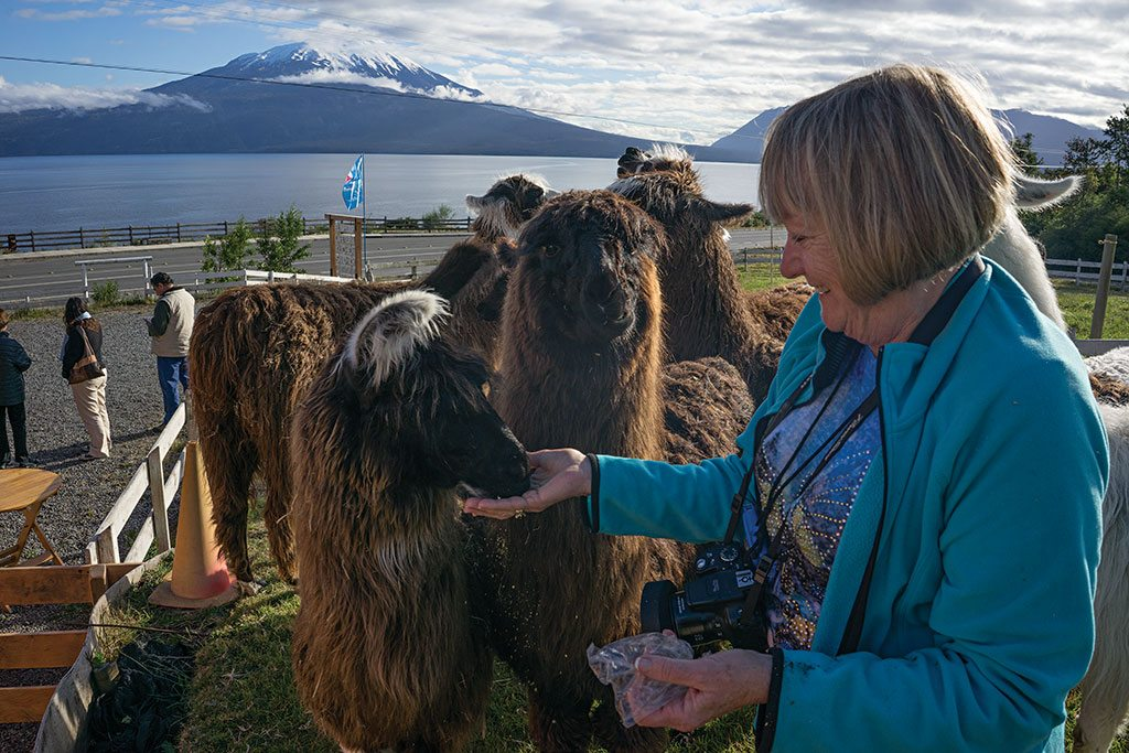 Backdropped by Osorno Volcano, a visitor feeds llamas along Lake Llanquihue. Photo: Pablo Corral Vega