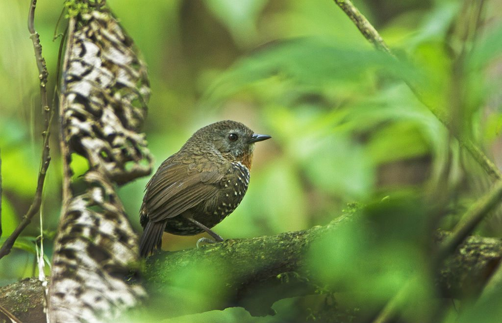 Rusty throated wren babbler