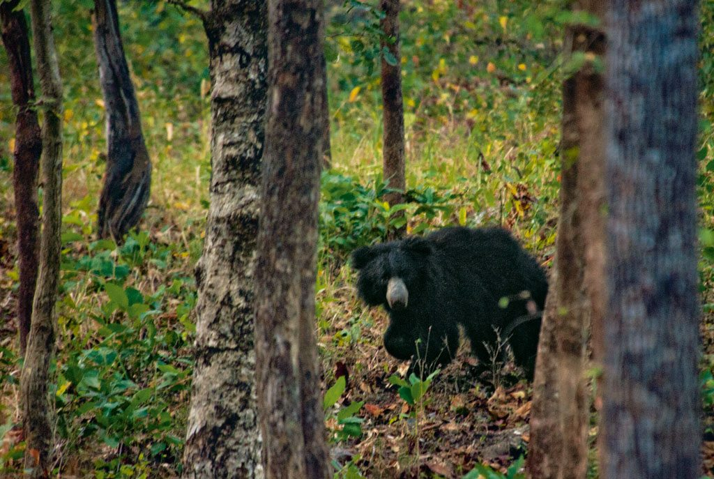 Sloth Bear Chhattisgarh