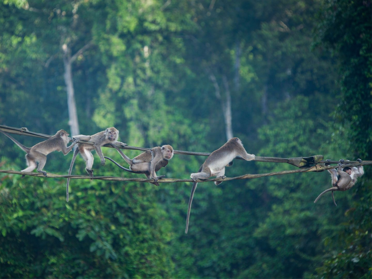 Long tailed macaques Borneo Malaysia