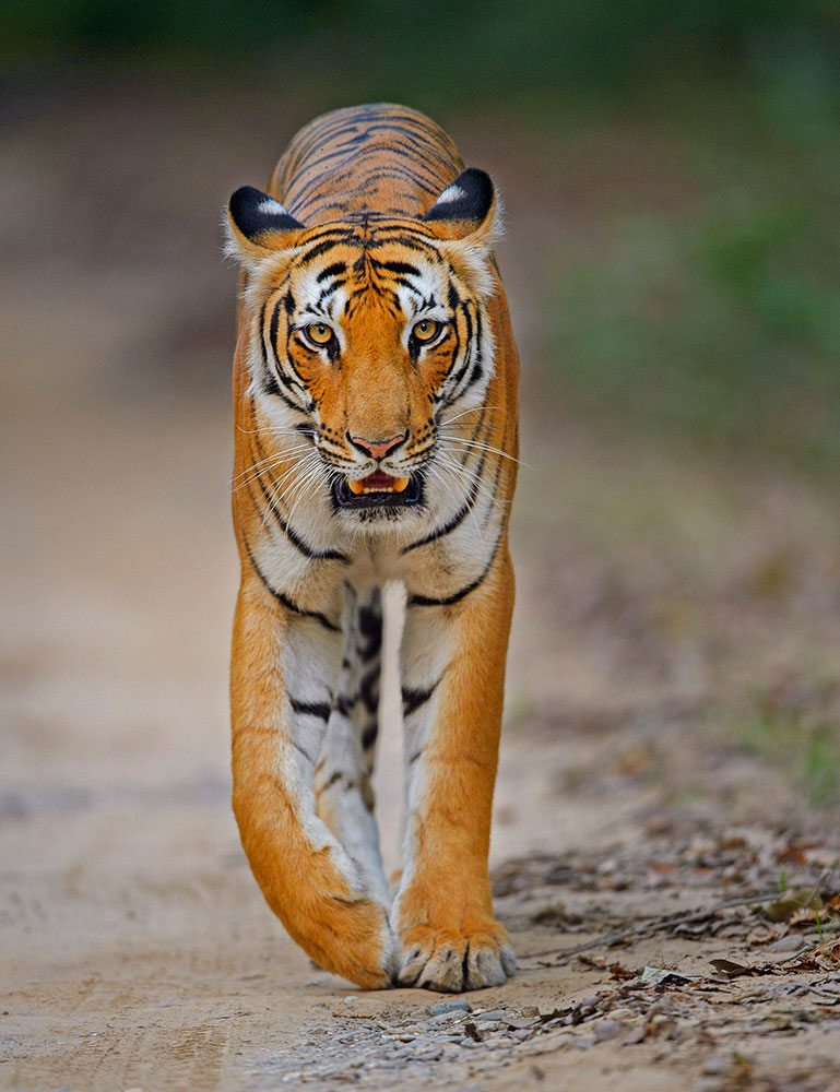 Of the eight tiger subspecies, only five survived into the 21st century, all of which are endangered today due to hunting, trade and habitat destruction. The Bengal tiger is the most common subspecies, accounting for about half of the world population in the wild. Photo: Dhritiman Mukherjee