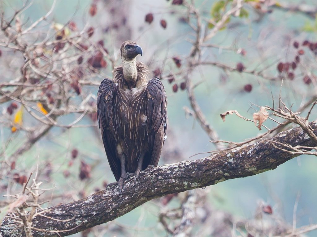 white-rumped vulture, photo by Raghav Ramaiah