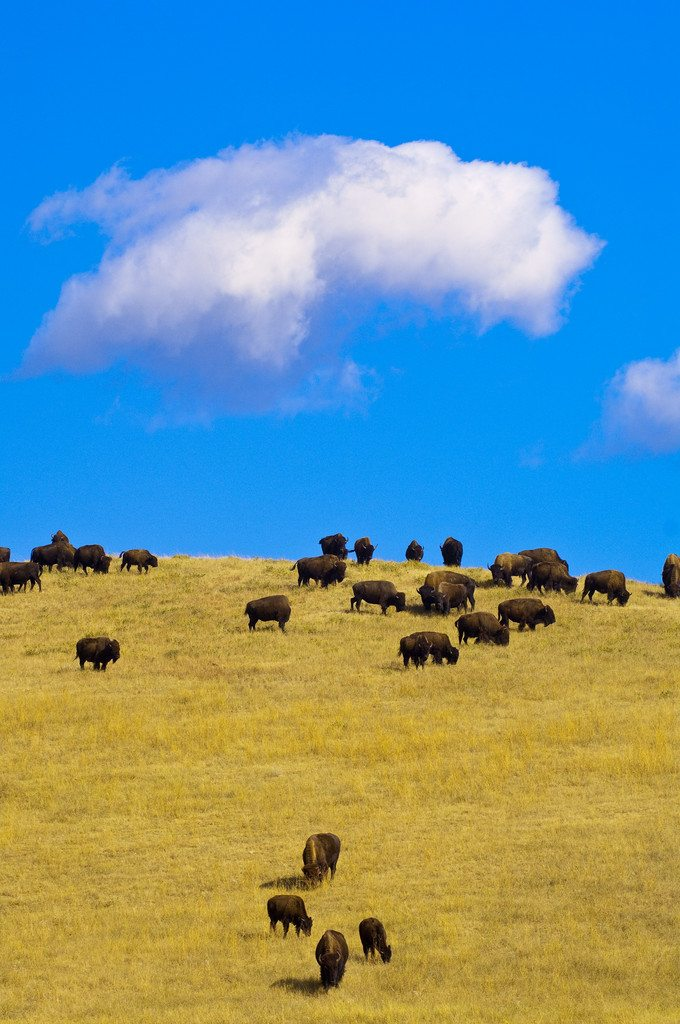 Bison grazing on a hillside, Custer State Park, South Dakota