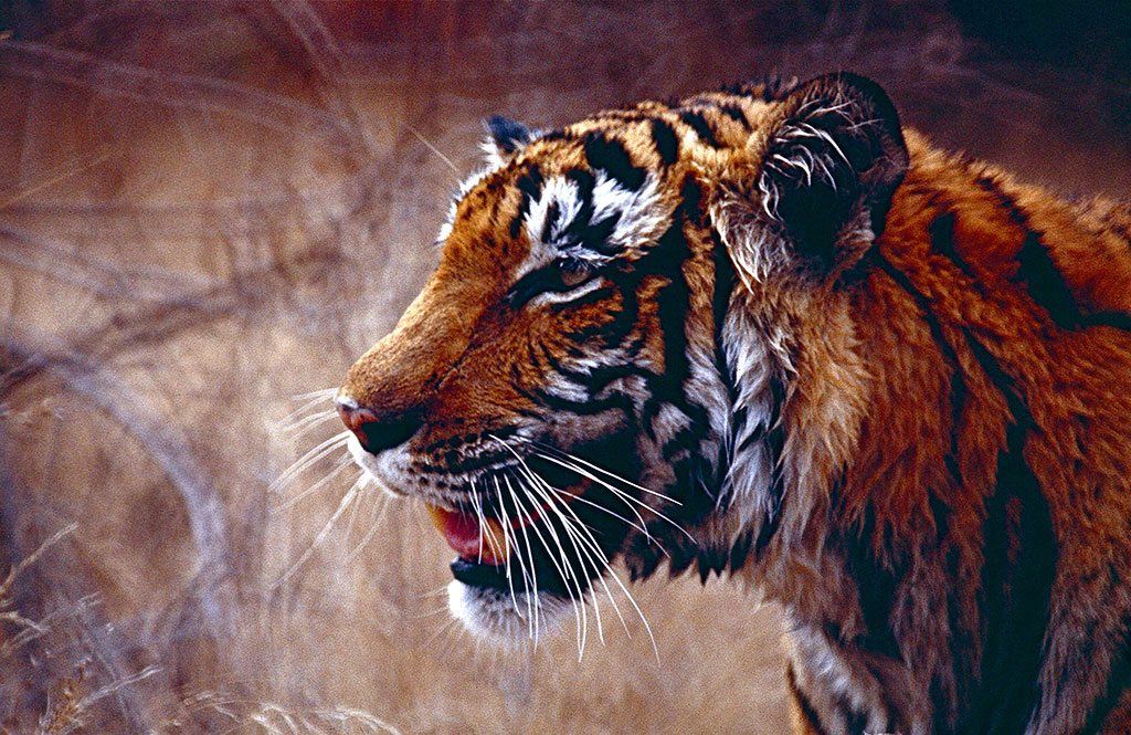 tiger-flickr