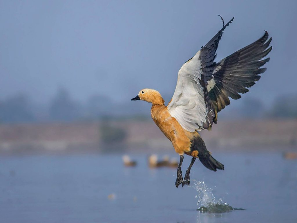 ruddy shelduck, photo by Bideep Roy