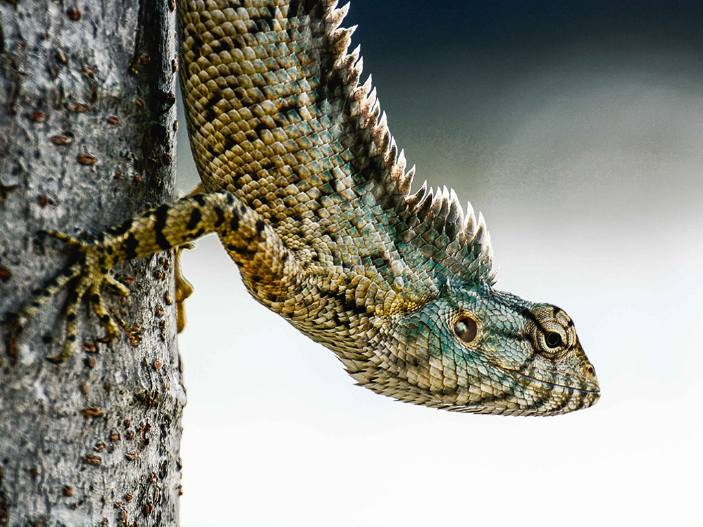 garden lizard, photo by Syed Yaseen