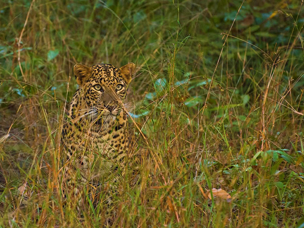 leopard in tadoba, photo by Vikram Kulkarni