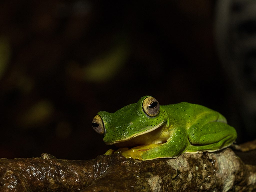 malabar gliding frog, photo by Yallappagouda Patil
