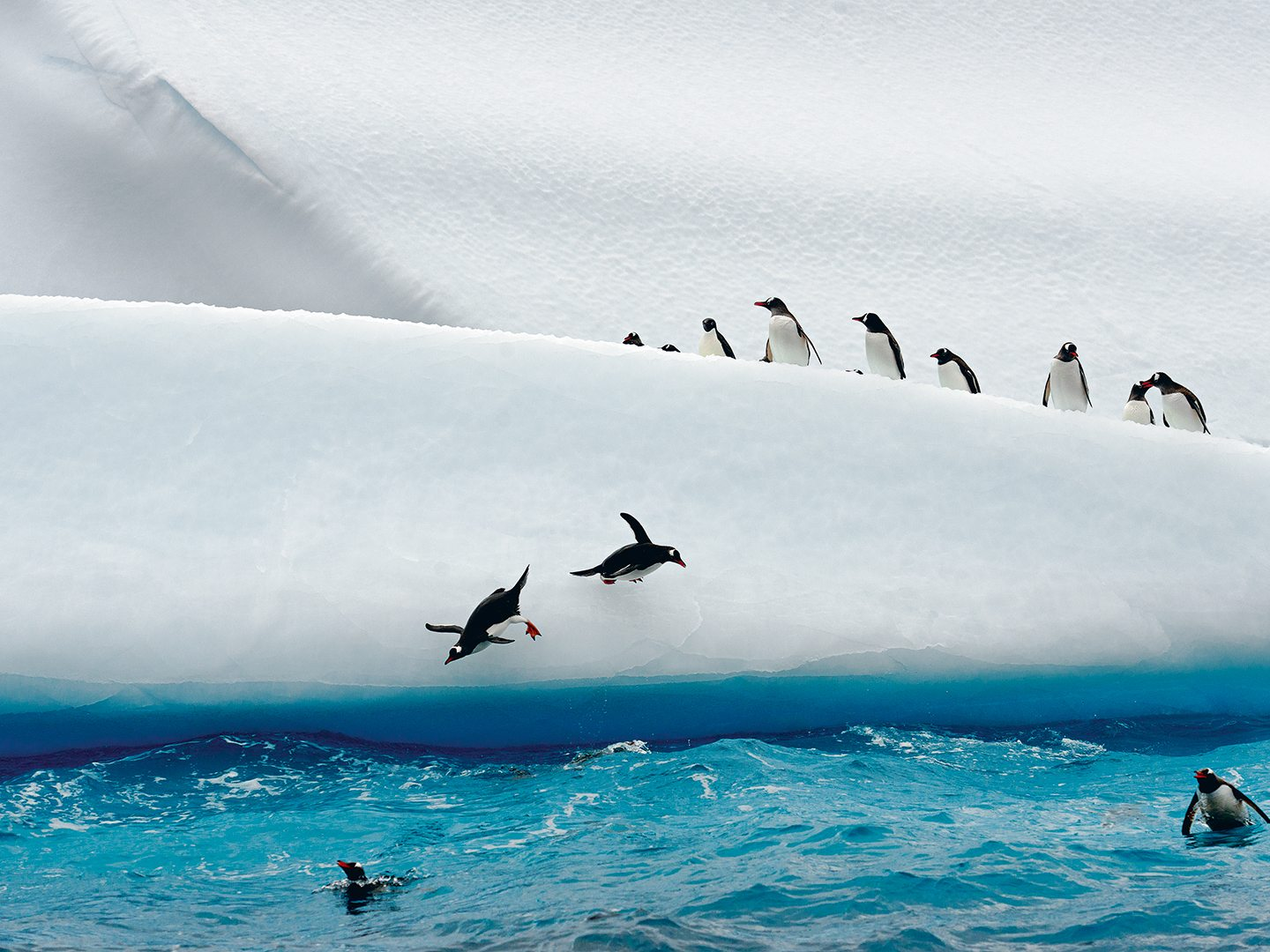 Gentoo penguins fling themselves from an iceberg into frigid Antarctic waters. Photo: Cotton Coulson and Sisse Brimberg