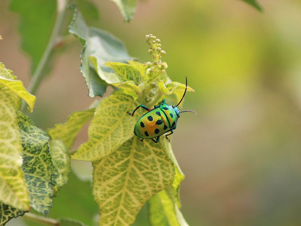 harlequin bug, photo by Sai Prasanth TR