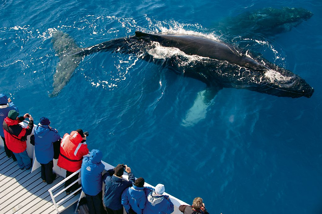 Two humpback whales lure passengers to the ship's rail for a close encounter. Photo: Cotton Coulson and Sisse Brimberg