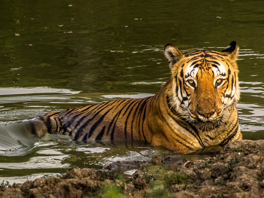 tiger, photo by Bharani Raghav