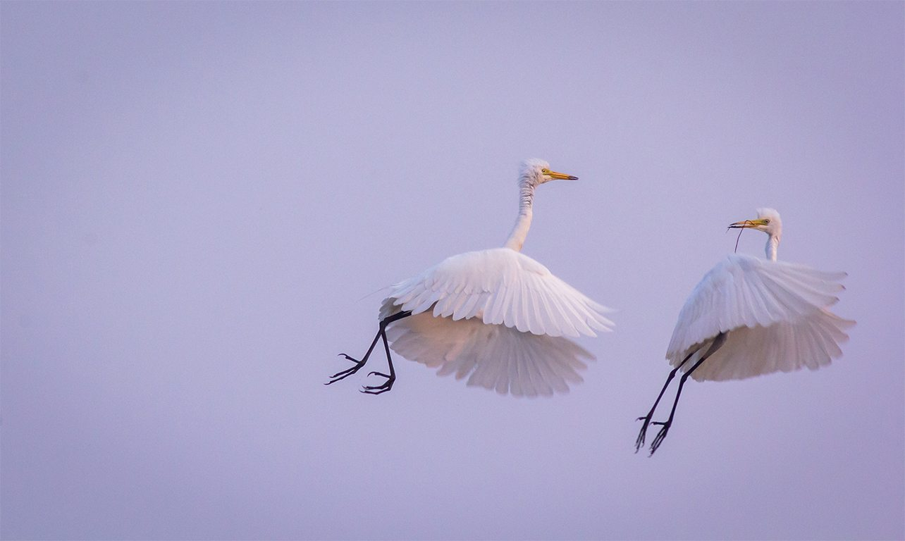 pair of egrets, photo by Pratik Patel