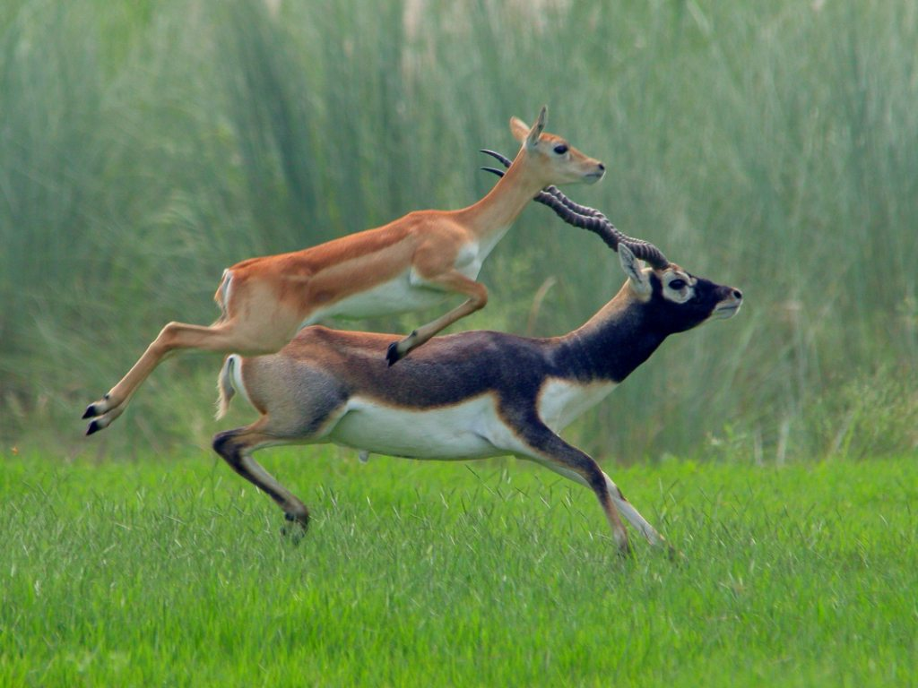 blackbucks, photo by Rajeev Ranjan