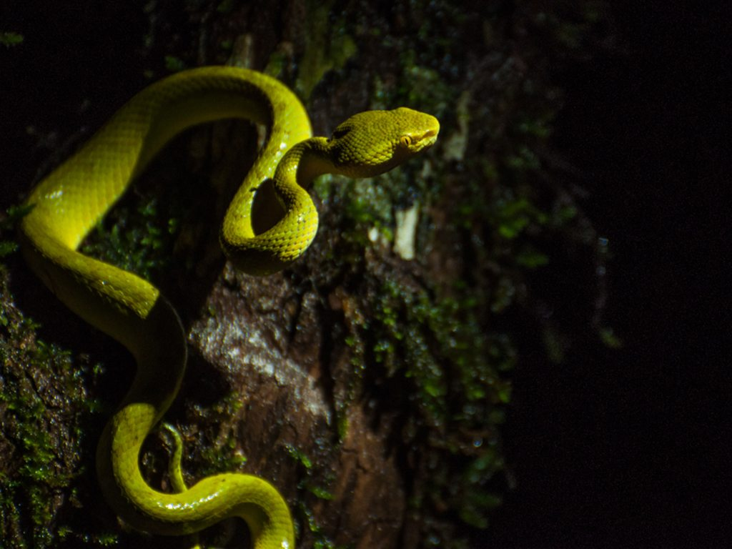 bamboo pit viper, photo by Sai Abhishek
