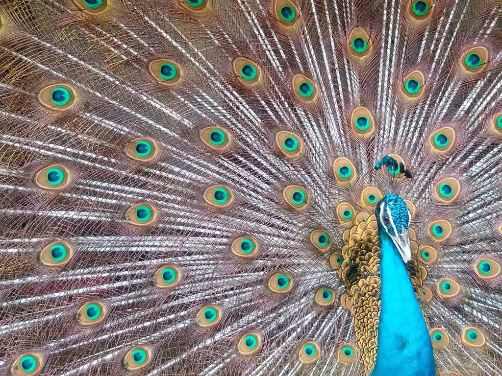 peacock, photo by Sheetal Vibhuti