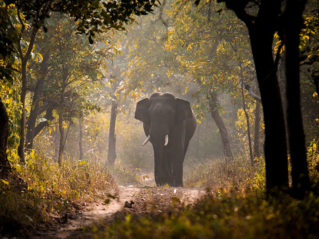 Uttarakhand's Rajaji National Park is an 820-sq-km reserve home to panthers, colourful birds like the great pied hornbill, and elephants like this lone ranger making his way through the forest roads on a winter evening.