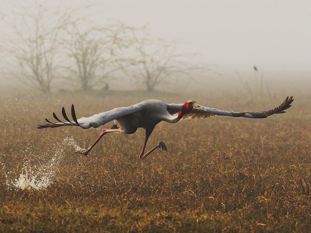 Sarus cranes are the tallest flying birds in the world, growing up to a height of almost 6 feet. These beautiful creatures can be seen in various parts of India, including Rajasthan's Bharatpur Bird Sanctuary where this photo was taken.
