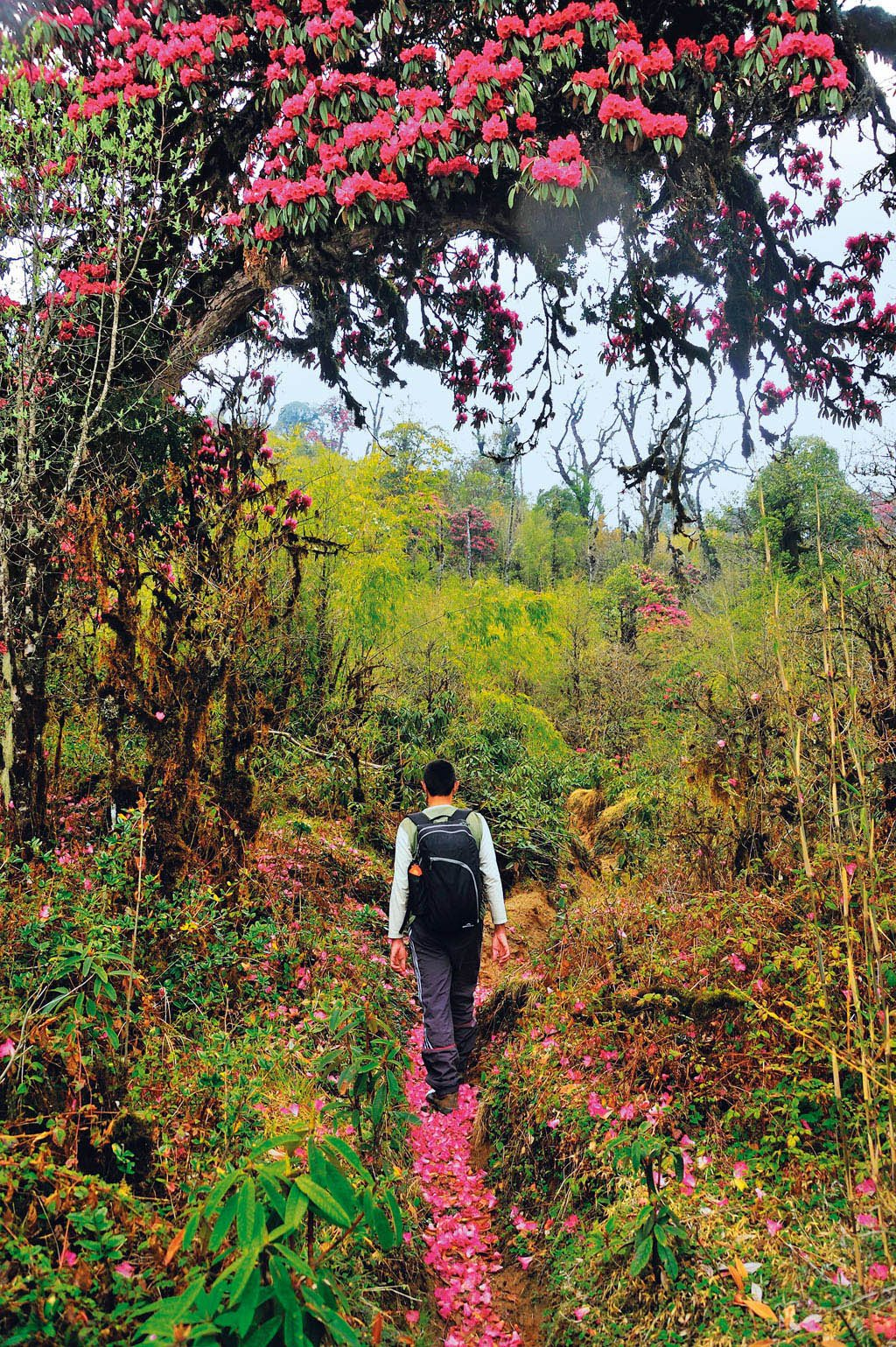Rhododendrons Barsey Sikkim