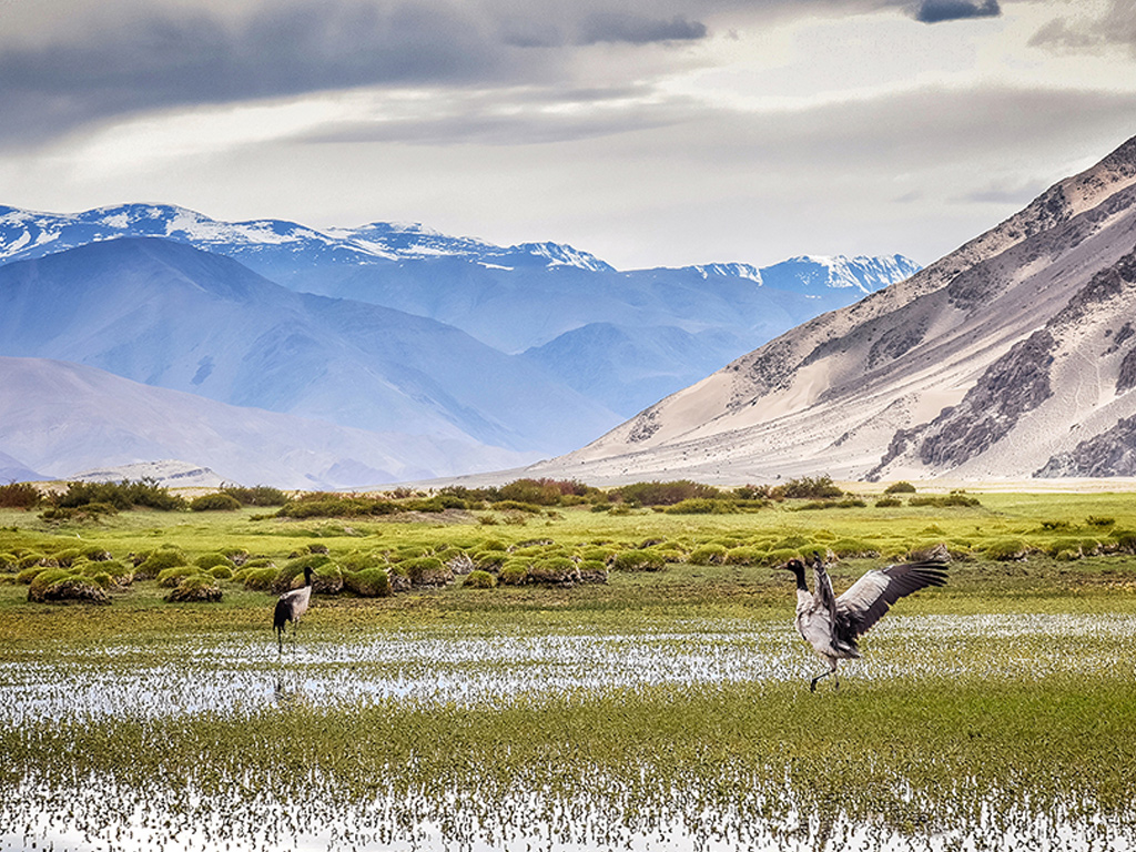 Black-necked cranes, a vulnerable species, breed in the sparse high-altitude wetlands of Ladakh.