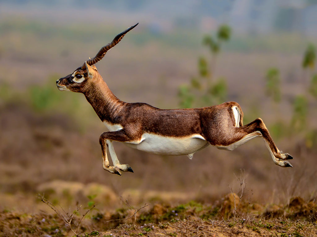 An adult male blackbuck in Bhetanai, Odisha.