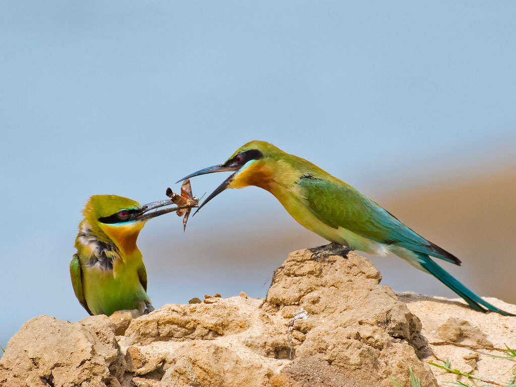 The bluetailed bee eaters caught in action at the Damodar River Valley, Burdwan.