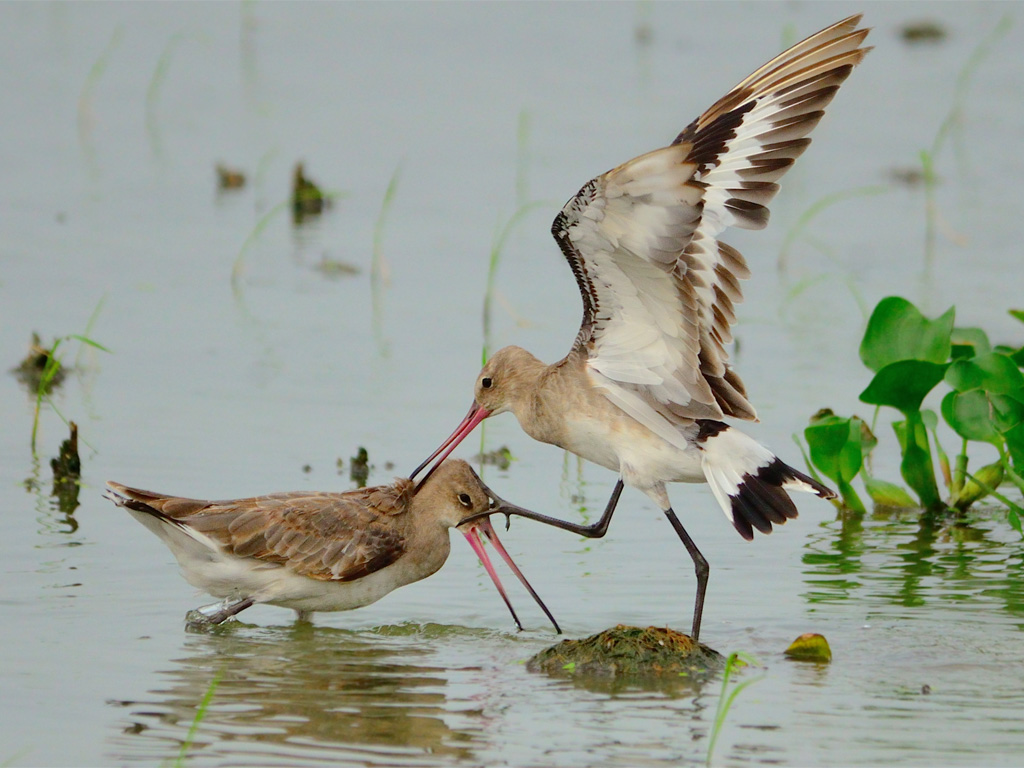 """We're choosing to title the picture of black-tailed godwits fighting """"Sibling Rivalry""""."""