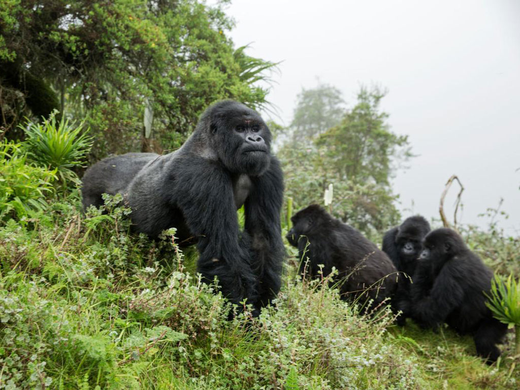 The silverback Dushishoze stepped into a snare a decade ago, when he was four years old, and was rescued by veterinarians working alongside the Fossey Fund. Antipoaching teams patrol Volcanoes National Park daily. Last year they removed 566 snares intended for bushbuck and small antelope. Photo by Ronan Donovan.