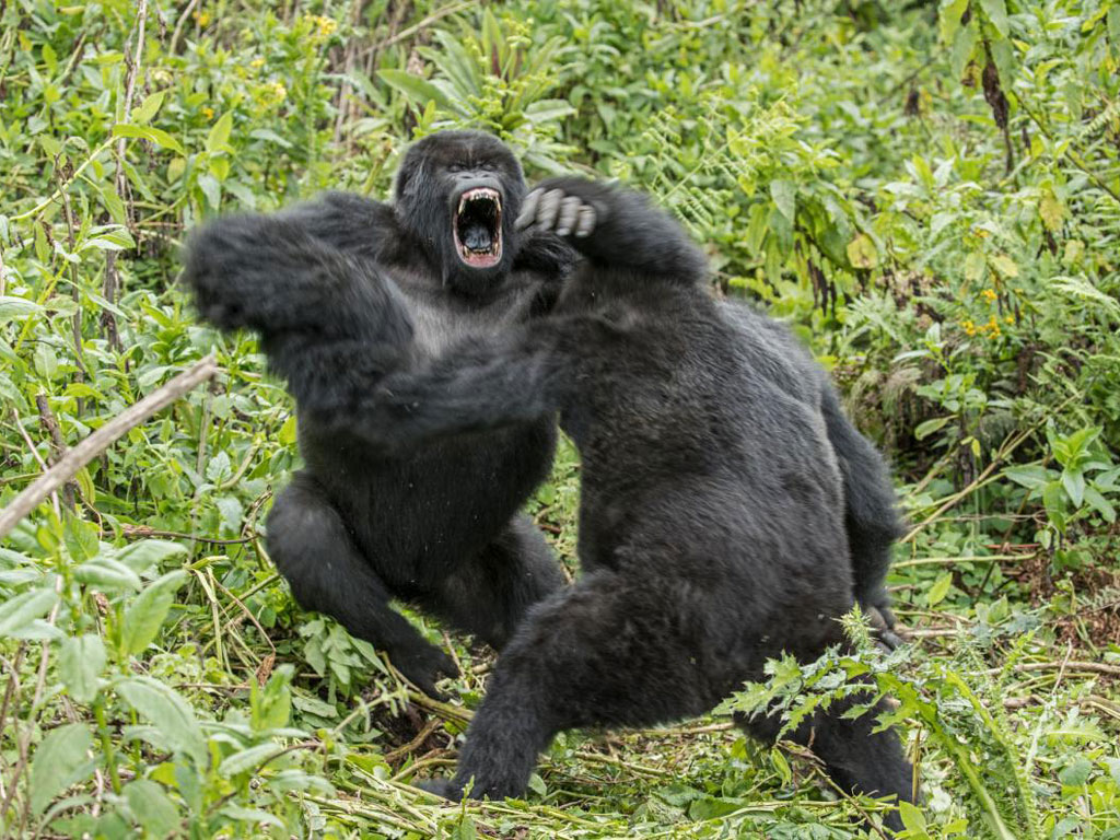 Ubwuzu, 11, and Agahebuzo, 10, playfully wrestle. After this bout the blackbacks amicably flopped down, side by side, to catch their breath. Photo by Ronan Donovan.