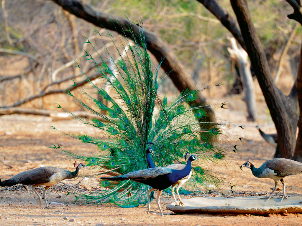 Jhalana also shelters an abundance of avian species including peacocks. Photo by: Pacific Press/Alamy/india picture/India picture